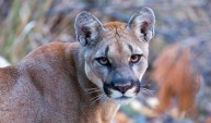 Mountain_Lion_D_Sweetman_small